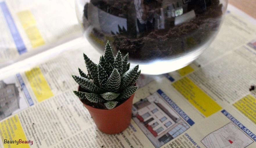 Haworthia Margaritifera Pearl Plant